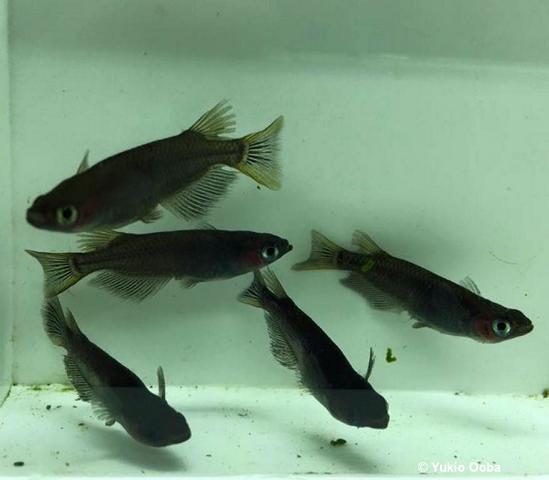 Black Medaka transparent scales