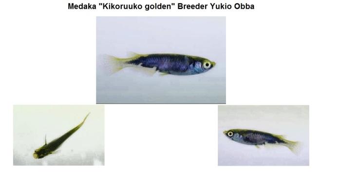 Kikuuroko golden Medaka 04